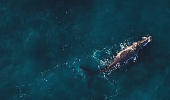 Aerial view of Right Whale